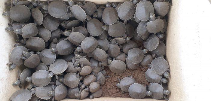 Rescate de más de 1000 Tortugas en la Fundación Palmarito